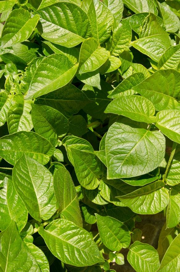 Potato leaves-1
