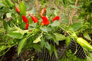 Nigels outdoor chilies