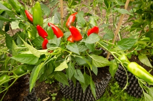 Nigels outdoor chilies