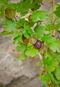 Gooseberries 2
