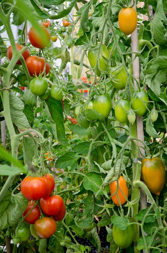Tomatoes 1 small
