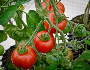 Tomatoes 2 small
